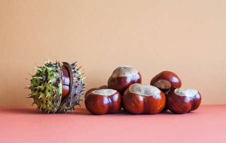Horse chestnut seeds on purple brown red background. Autumn artistic still life with Aesculus hippocastanumon ripe Buckeye fruits.