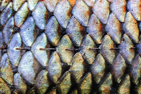 Fish scales skin texture background macro view. Geometric pattern photo wild carp with lateral line. Selective focus, shallow depth field