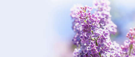 Beautiful springtime floral background with bunch of violet purple flowers. Blossoming Syringa vulgaris lilacs bush. soft focus photo. copy space.