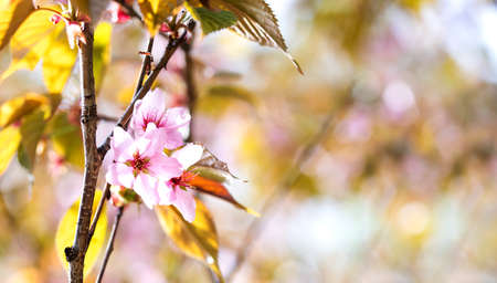 Springtime wallpaper pink flowers fruit tree branch. Beautiful spring garden landscape with pink petals flowers blossom. macro view, copy space