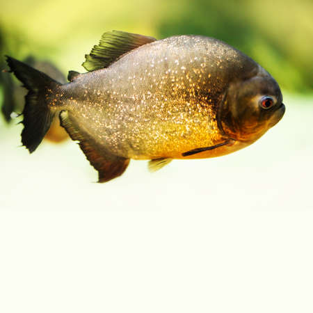 Red bellied piranha Pygocentrus nattereri, Serrasalmidae family. Dangerous carnivore fish predator from freshwater river habitat. Yellow background, copy space.