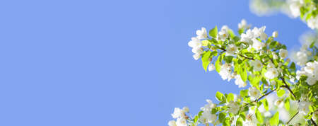 Blossoming white petals apple tree branch. Sunny day spring time park background. blue sky background, copy space. Shallow depth of field