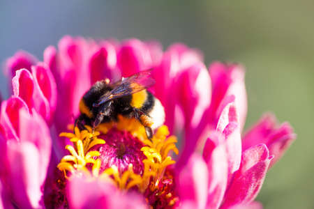 Macro view bumble bee pollinates Zinnia flower Banco de Imagens