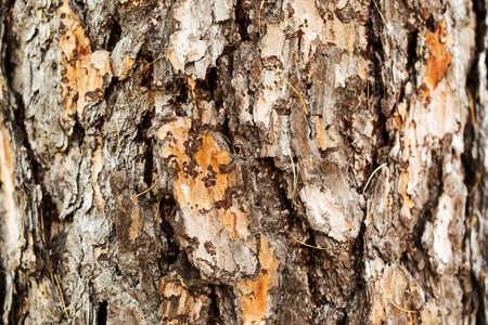 Giant old Pine tree trunk bark texture pattern macro view. Selective focus