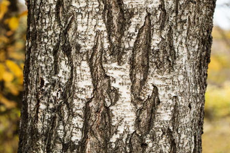 Giant old Birch tree trunk bark texture pattern macro view. Selective focus