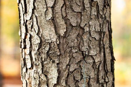 Big old Chestnut tree trunk bark texture pattern macro view. Selective focus 写真素材