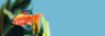 Gold color fish longtail barb Pethia Conchonius macro view. Tropical aquarium tank with dark green aquarium plants on blue background. Macro view, shallow depth of field, copy space