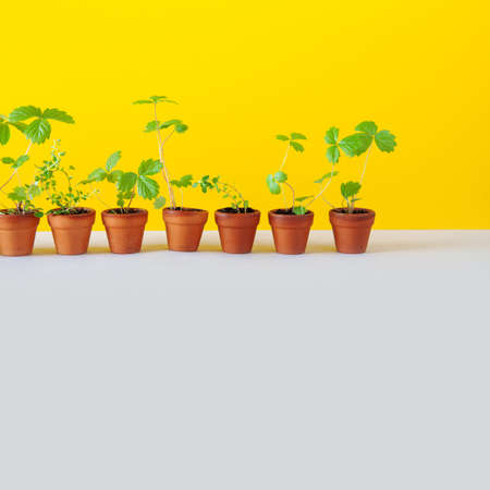 Gardening breeding background. 7 flower pots with young sprouts sprigs of wild strawberry and thyme. Garden plants with green leaves in brown clay pots. Yellow gray backdrop. copy space