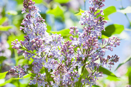 Blossoming Syringa vulgaris lilacs bush. Beautiful springtime floral background with bunches of violet purple flowers. lilac blooming plant, soft focus photo.