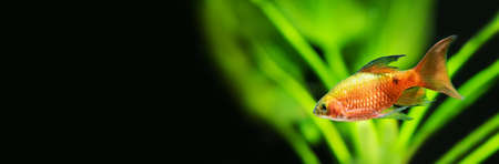 Gold red color fish longtail barb Pethia Conchonius. Tropical aquarium tank with green plants on black background. Macro view, shallow depth of field, copy space Stock Photo