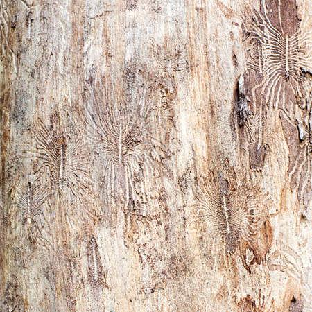 Bark beetle engraving the sapwood background. macro view, soft focus. Foto de archivo