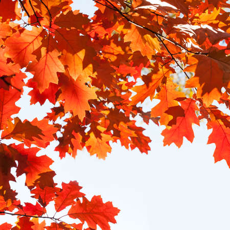 Autumn leaves background. Red oak tree branch with colorful yellow orange brown leaves. Beautiful foliage, seasonal fall wallpaper. Archivio Fotografico