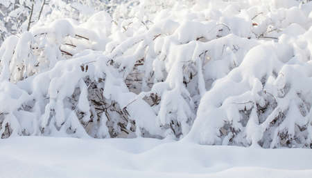 A fragment of winter nature in the December forest. Bushes covered with snow after a snowfall.