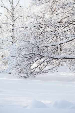 Snowfall in the forest, cold winter weather scene, snow covered tree branch. Stock fotó