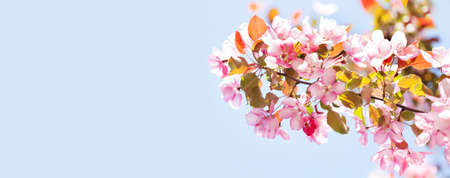 Springtime garden floral background. Blossoming pink petals flowers close-up. Fruit tree branch on blue sky background, sunny day light. Shallow depth of field, copy space.