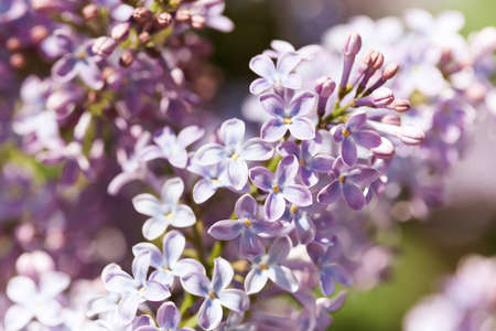 Beautiful springtime floral background with bunches of violet purple flowers. Blossoming Syringa vulgaris lilacs bush. soft focus photo, macro view
