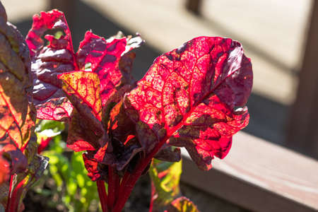 Bright juicy red purple violet green beet leaf in the light of the sun. Macro view texture and pattern. Beautiful garden plant background