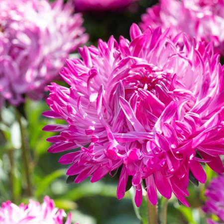 Pink chrysanthemum flower macro view. Floral wallpaper with blooming mum. Selective focus photo Imagens