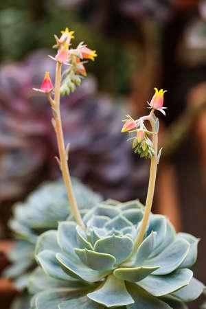 Echeveria derenbergii evergreen perennial succulent with blooming flowers. Shallow depth of field. Imagens