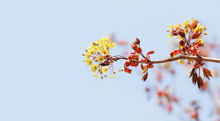 Blossoming red maple tree branch on blue sky background. Beautiful spring time floral wallpaper Imagens