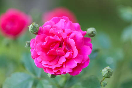 Blooming wild pink roses bush. Macro view. Shallow depth of field. selective focus