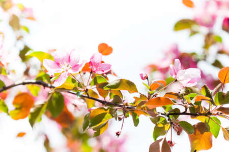 Tender spring floral nature garden landscape. Blossoming fruit tree branch, pink petal flowers fresh green leaves in the rays of sunlight. Soft focus, beautiful bokeh