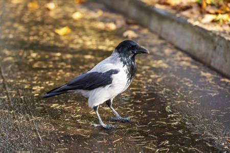 The hooded crow Corvus cornix or hoodie.