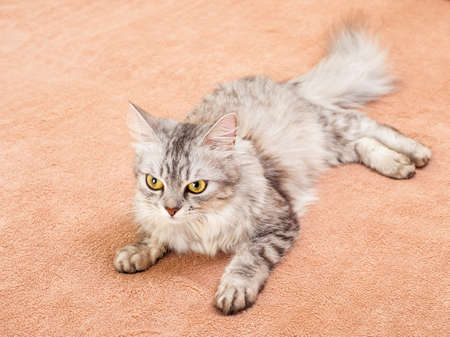 lowered: The gray striped cat of breed of Shinshil, lies on a sofa, nobody.