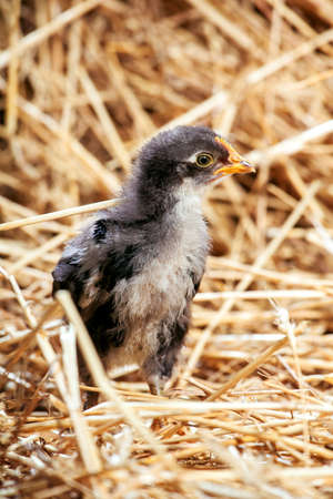 the hen  black little on dry straw, agriculture. Stock Photo