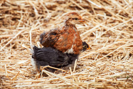 hatched: the red hen and black little rooster on dry straw, agriculture.