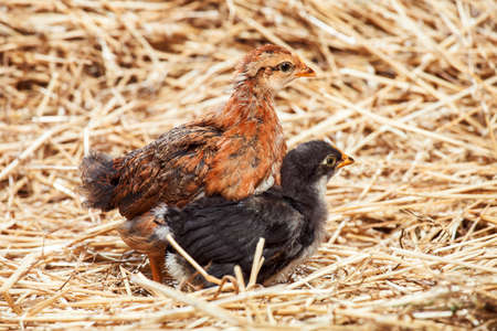 the red hen and black little rooster on dry straw, agriculture.