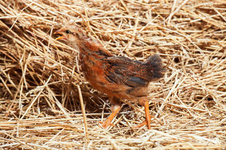 the red little rooster on dry straw, agriculture.