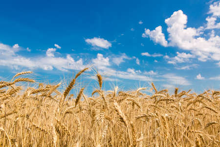 wheat against the sky with clouds, field ripe ears of wheat of golden color. Stock Photo