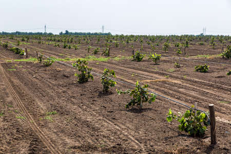 The new young landed orchard in the field with watering of drop irrigation.