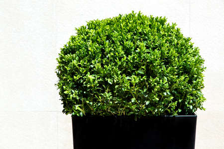 Cespuglio di forma ovale artificiale a foglia verde in un vaso di plastica nera sullo sfondo di un muro di pietra chiaro. Archivio Fotografico