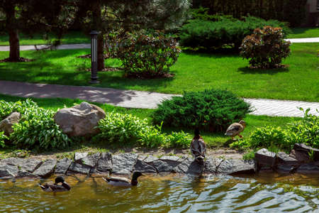 ducks swim in the pond and go to land with landscape design of decorative stone and green plants of the park. Stok Fotoğraf