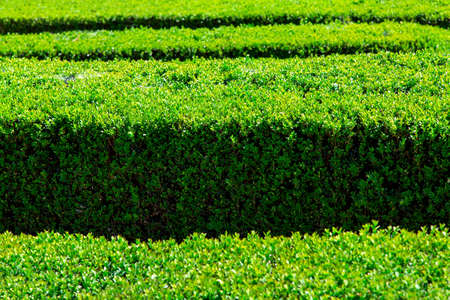 A close-up of boxwood with green leaves of an evergreen bush illuminated by sunlight.