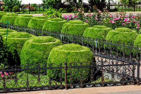 A flowerbed fenced with an iron fence with roses and boxwood bushes topiary round shape on a sunny summer day. Stok Fotoğraf