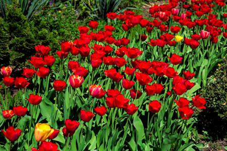Blumenbeet mit blühenden roten Tulpen, die vom Sonnenlicht beleuchtet werden.