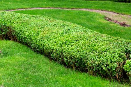 boxwood leafy bush amongst lawn shorn, green landscape design eco friendly, nobody.