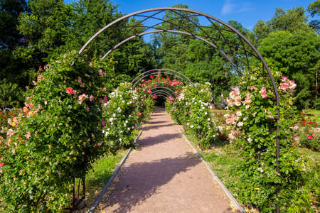 walk path with an arch for climbing roses with flowering, a rose garden in the botanical garden with plants on a sunny summer day.