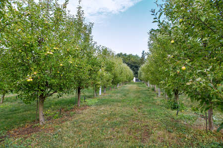 apple garden with trees growing in rows surrounded by green grass, apple orchard.