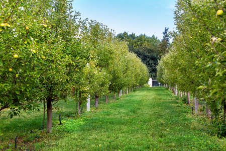 apple plantation garden trees growing in rows surrounded by green grass, apple orchard. Reklamní fotografie