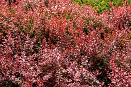 Closeup of branches of deciduous bushes with red leaves on a sunny summer day.