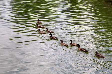 A flock of brown ducks floats in a row in the water along the lake.