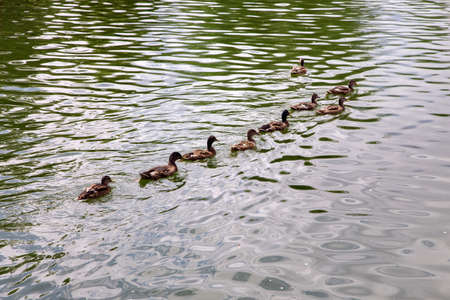 wild ducks swim along the surface of the lake in a row behind the leader of the flock on a sunny summer day. Reklamní fotografie