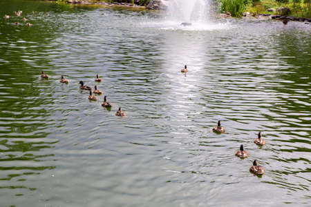 a pond with brown water bearing wild ducks flocks floating in rows towards the fountain.