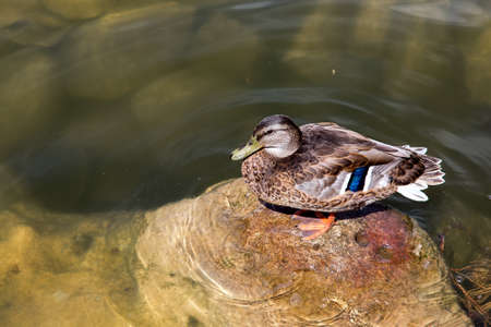 wild brown waterfowl duck sitting on a stone in a lake on a sunny summer day.