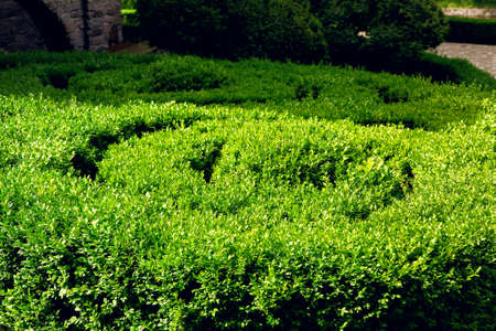 boxwood growing in a spiral circle lit by sunlight, close up plant in the park.