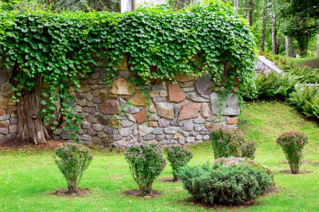 lawn landscape with green grass and bushes against the background of a wall paved with decorative stone overgrown with curly ivy.